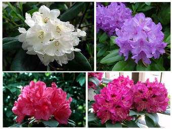 8x Rhododendron
