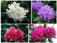 4x Rhododendron