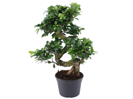 ficus ginseng pflege pruning a ficus bonsai ficus ginseng ein ficus ginseng sollte richtig. Black Bedroom Furniture Sets. Home Design Ideas