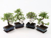 2x Chinese Bonsai