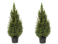 2x Picea Conica (Kerstboom)