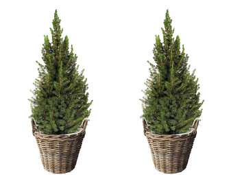 2x Picea Conica (Kerstboom) + Mand