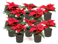 10x Poinsettia (Rode Kerstster)