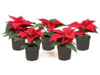 5x Poinsettia (Rode Kerstster)