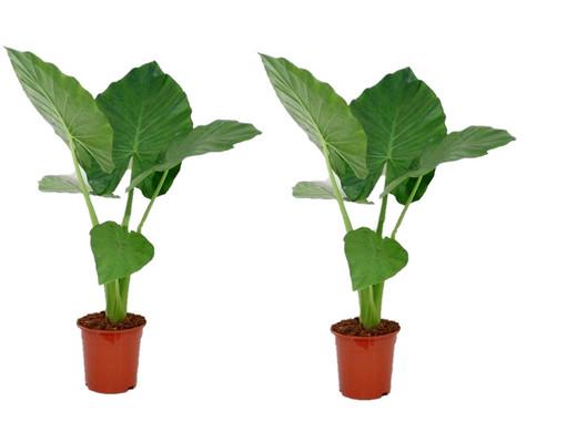 2 Alocasia Macrorrhiza Zimmerpflanzen Internet S Best Online Offer
