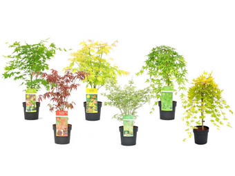 Perfect Plant Set van 6 Japanse Esdoorns
