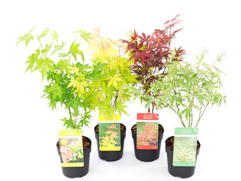 Perfect Plant Set van 4 Japanse Esdoorns