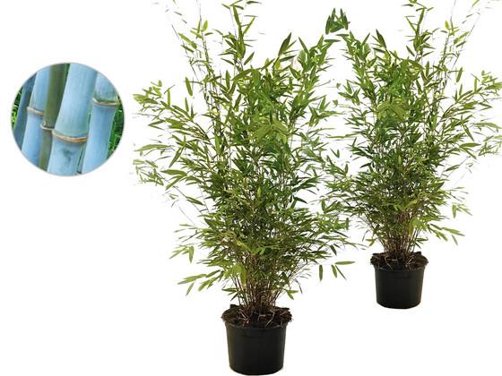 2x Blauwe Bambooplant
