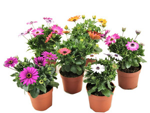 Perfect Plant Set van 6 Spaanse Margrieten