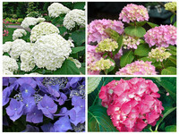 4x OH2 Hortensia