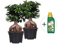 2x Ficus Ginseng + Voeding