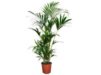 Kentia Kamerpalm XL