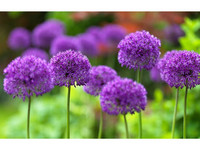 Set van 3 Allium Purple Sensation