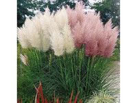 Set van 3 Pampas Grassen | Roze of Wit