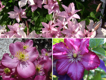 6x OH2 Clematis | Mix