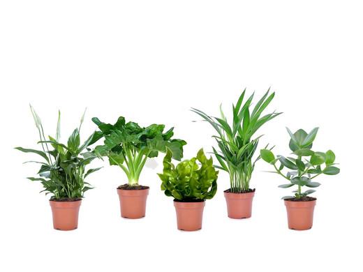 5x Perfect Plant Luchtzuiverende Kamerplanten | Mi