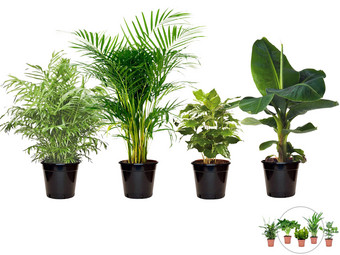 4x Perfect Plant Exotische Kamerplant | Mix