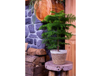 Kerstplant in Noah Korb Pot