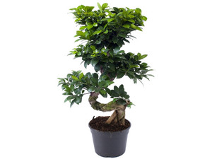 Ficus Ginseng Bonsai XL