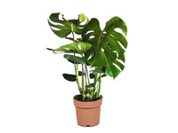 Gatenplant | Monstera Deliciosa