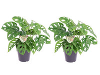 2x Monstera Monkey Mask Klimplant