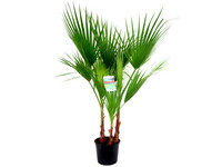 Washingtonpalme | 80–100 cm