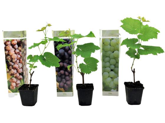 Korting 3x Druivenplant | Mix van 3 Kleuren