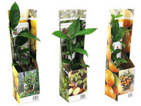 3x Zitruspflanze | Zitrone, Orange, Limette