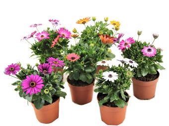Perfect Plant Set van 6 Spaanse Margrieten
