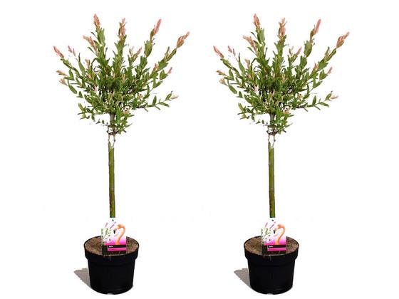 Korting 2x Salix Medium Flamingoboom