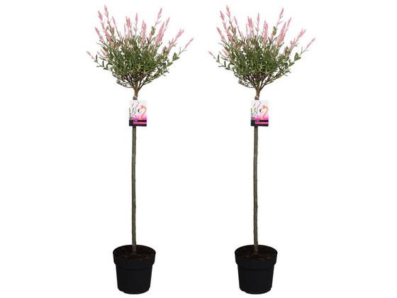 Korting 2x Salix XXL Flamingoboom