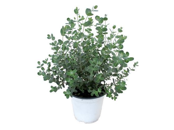 Korting Winterharde Eucalyptus Plant