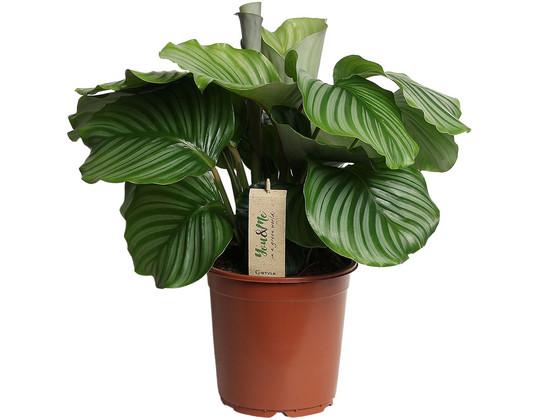 Korting Pauwenplant | 50 60 cm
