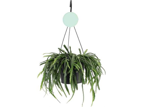 Korting Lepismium Bolivianum Hangplant