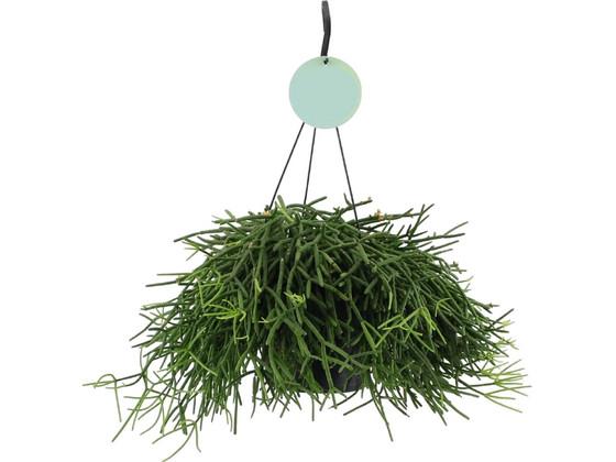 Korting Rhipsalis Hangplant