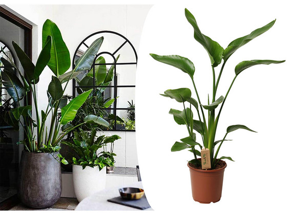 XL Paradijsvogelplant | 100 120 cm