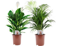 2x Air So Pure Plant | 60 - 70 cm
