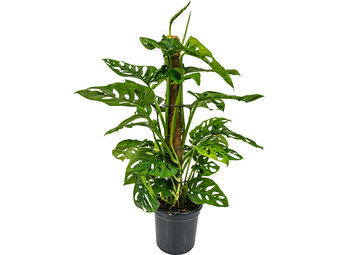 Monstera Monkey Leaf Mosstok | 65-70 cm