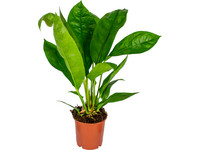 Anthurium Jungle King | 65 cm