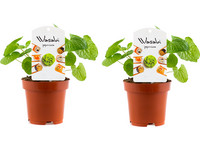 Perfect Plant Set van 2 Wasabi-planten