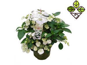 "Perfect Plant Hortensie ""Runaway Bride"""
