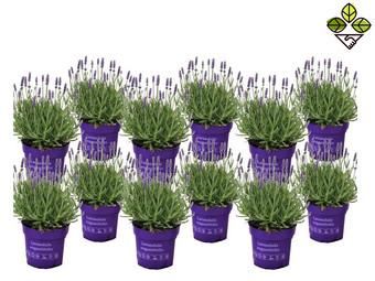 12x Perfect Plant Lavendelstruik   10 - 15 cm